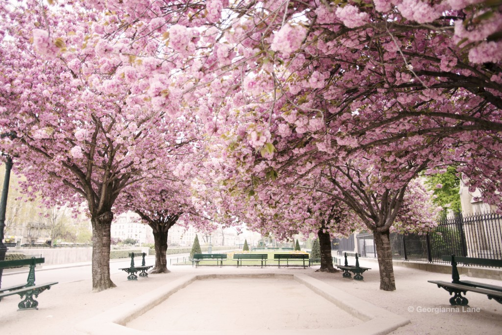 Cherry Blossoms at Notre Dame, Paris